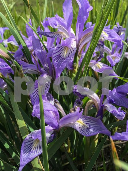 Wild Iris_0297