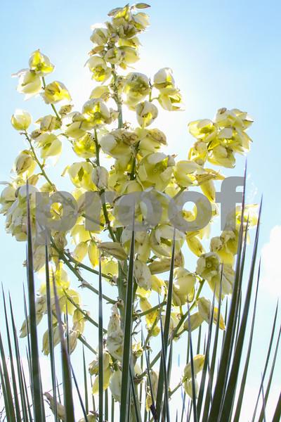 Yucca Blossom_2714