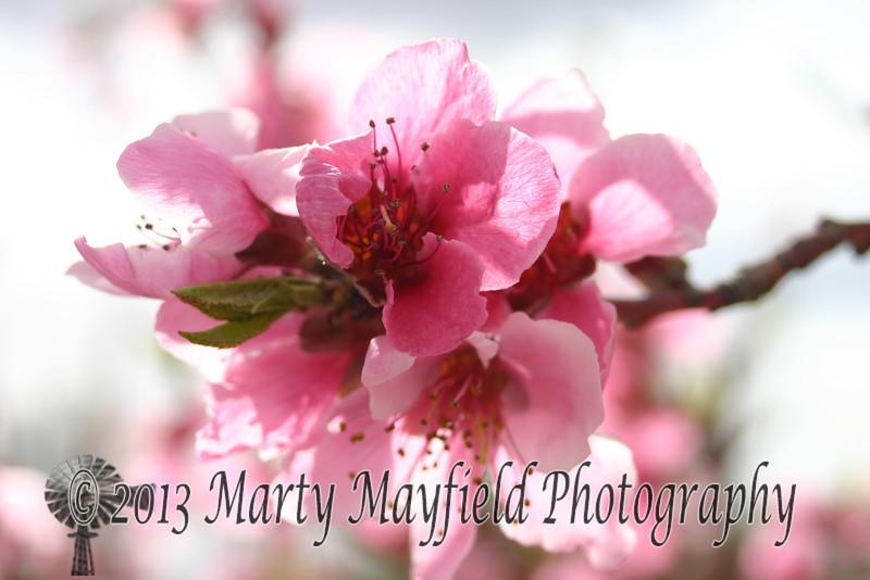Plum Blossom IMG_1712