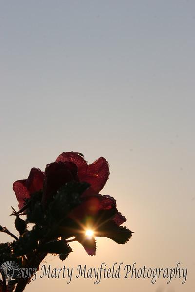 Wild Rose_021