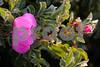 Wild Rose_025