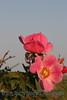 Wild Rose_029