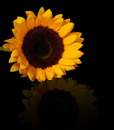 Sunflower Reflection