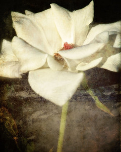 Textured Rose 5