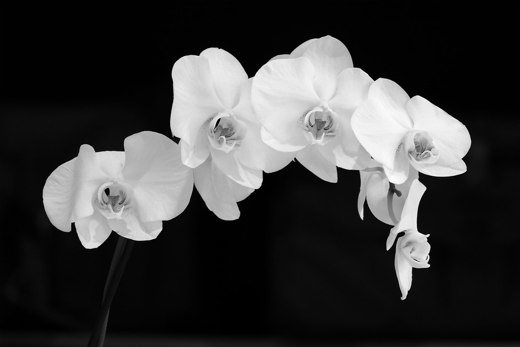 Orchids BW504 12x18
