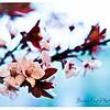 CherryBlsm-12351-Edit-2