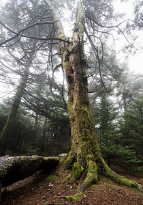 Tree in the fog, taken at Roan High Knob along the Appalachian Trail