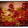 WildflowerMaster-0252-Orton