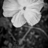 Poppies-12294