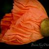 Poppies-12219