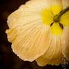 Poppies-12226