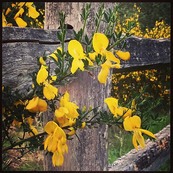 Scotch Broom on the Fence