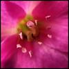 Pink Pistils