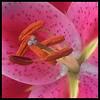 Stargazing Lily