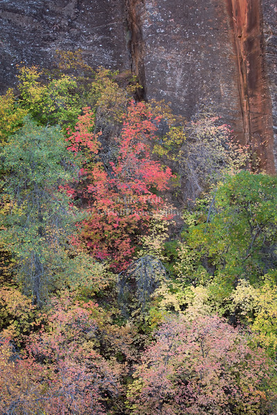 Canyon Fall Color, Zion National Park