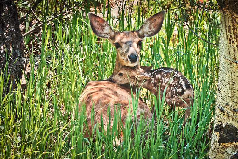 """... And So It Begins""<br /> A new life for this fawn began just minutes before the shot.  I stumbled upon momma doe and baby in my backyard as I emerged from my basement door headed to the studio. This photo is available as a Fine Art Limited Edition Print. It was titled in remembrance of Ellie Lincoln who died just 4 months short of her 2nd birthday.  The Lincoln family, proprietors of Willow Creek Restaurant in Evergreen Colorado, were given the honor of  naming the photo coinciding with Ellie's birthday and  ""Ellie's Evening"",  a annual event benefiting Mt. Evans Home Health & Hospice."