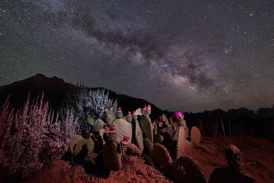 Milky Cactus