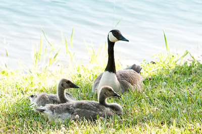 Canadian Geese gosling