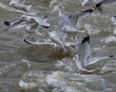 gulls fishing on the Iowa river