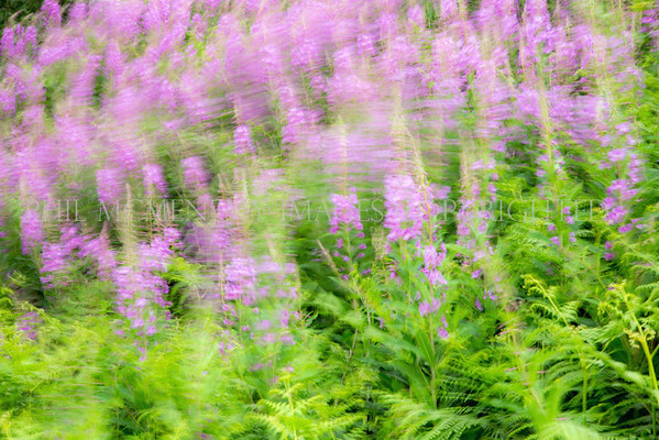 RoseBay<br /> <br /> The wind in the willow ...herb