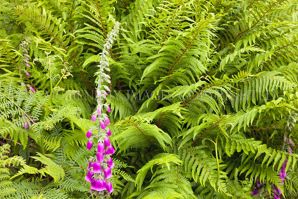 Foxglove and Fern<br /> <br /> The contrasting textures and form of two of our most notable plants