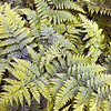 Fern<br /> <br /> When does a bracken become a fern? Is this bracken or is this fern??