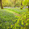 The Path<br /> <br /> Through and beyond flanked by beech and bluebell