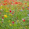 Meadow (iii)<br /> <br /> A riot of splendour