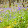 Morning in the Woods<br /> <br /> And seeing what turns up......bluebells are so totemic and of these isles.
