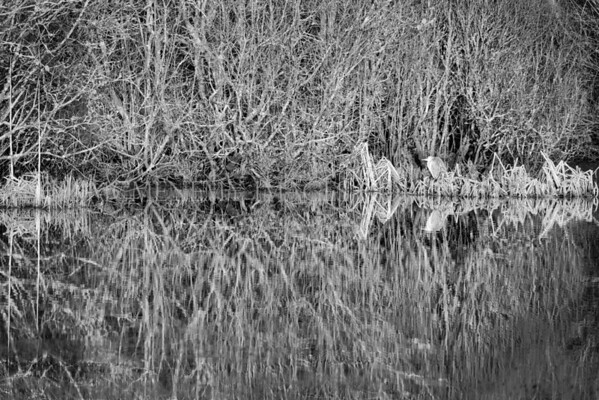 'GREY HERON'<br /> <br /> The heron was a bonus and wasn't the focus of my interest, I hope it adds to the texture which attracted me to this scene. I love the texture and feel of the background trees and the natural vignette