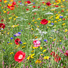 Meadow (ii)<br /> <br /> Poppies, cornflowers, erm, and some other flowers high summer - note to self: learn more flower names!!
