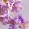 Hyacinth (ii)<br /> <br /> The bell-like precision and beauty of one of our most recognisable and loved plants  - the bluebell