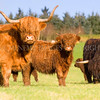 High Land Hard Rain<br /> <br /> A small herd of Highland cattle graze gently until the disturbance created by me - sorry cows!