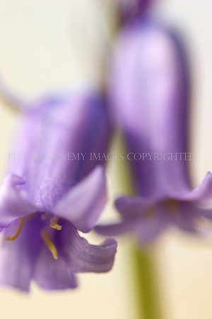 Hyacinth (i)<br /> <br /> The bell-like precision and beauty of one of our most recognisable and loved plants  - the bluebell