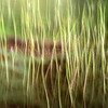 Reeds Winter & Wind<br /> <br /> Wonderfully dancing and alive reeds blurred by a strong breeze creat magical shapes and patterns
