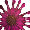 Star Star!<br /> <br /> Homegrown is best so they say, this osteospermum proves the rule  - one of my favourite plants