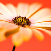 BloomBurst<br /> <br /> My favourite flower - the osteospermum, is simple, unfussy and prtty as,erm, a picture!