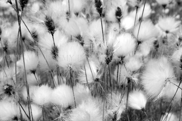 Cotton Grass b/w<br /> <br /> The soft, tickly and infinitely reminding me of my youth - we used to call it bog-cotton in Lancashire but I prefer Cotton grass as its called up here.