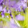 Peeping....<br /> <br /> A myriad of bluebells signify the advent of spring and we applaud them