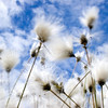 Cotton Grass (i)<br /> <br /> I love this stuff and felt comforted in its embrace - as I laid and stared I got the sense that they were moving in harmony with and conversing with the clouds. It was a special moment and makes me kind of shiver thinking back to that moment.