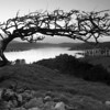 Sheltered<br /> <br /> An old old hawthorn, wind-swept and disfigured, appears to offer shelter to Rockcliffe.