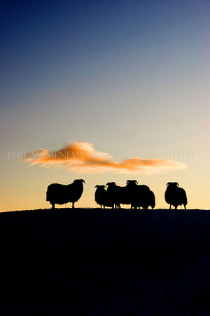 Sheep at Sunset<br /> <br /> A lucky shot - I was heading for home on a freezing evening and I sensed I was being watched - I was!