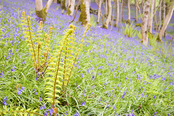 Bluebells and Ferns<br /> <br /> Complete with silver birch, a classic Galloway combination and evidence of ancient woodlands.