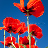 Poppies<br /> <br /> Climbing their way to their own individual and collective glory backed beautifully by an azure summer sky