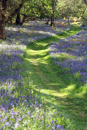 Bluebell Path (i)<br /> <br /> Totemic and of easter and spring - our native bluebells we have many groves and woods bedecked in them - and I am grateful for that.