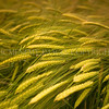Wheat-ears<br /> <br /> Ripenend and swaying ears of wheat ready for the farmers threshing machine and the journey to be transformed into shredded-wheat