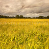 Wheat-Field<br /> <br /> A troubled sky overlooks the swaying field of ripening wheat