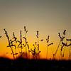 Sunset Grasses<br /> <br /> This was the evening I froze my tripod to my top lip - good move Phil! <br /> I love the frozen grasses proudly standing silhouetted by the setting sun.