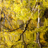 Ash Splendour<br /> <br /> Catch them while you can - the Ash tree reflected magnificently