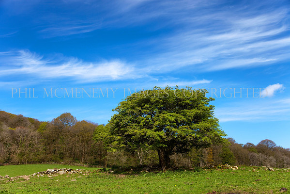 Gatehouse Tree<br /> <br /> One of those magical mornings, a deep blue sky and whimsical clouds skid across the sky